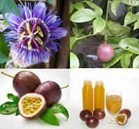 Thai Passion Flower 10 Seeds, Purple Granadilla, PASSIFLORA EDULIS  Fruit Vine