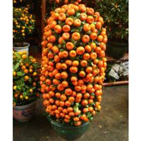 20PCS Orange Tree Seeds Giant Fruit Flowers Bonsai Pot Plants Decor Garden DIY