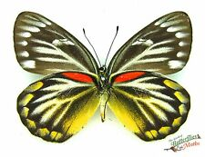 véritable papillons delias oraia setx1 LOMBOK TAXIDERMIE Insect Artwork