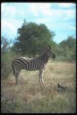 130057 Burchell's Zebra A4 Photo Print
