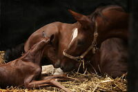 ClearOFF DEquine™ 200g Natural Horse Pony THRUSH LICE STABLE & MANGE MITE KILLER