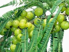 8 graines GROSEILLE INDIENNE(Phyllanthus Emblica)AMLA G805 SEEDS SAMEN SEMILLAS