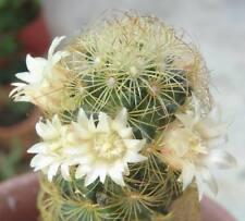 LITTLE SUNS Mammillaria elongata Cactus succulent plant in 70mm pot