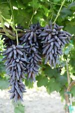 Lady's fingers grape - 3  dormant cuttings- seedless table grape