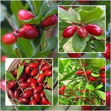 20 Pcs Rare Miracle Fruit Synsepalum Dulcificum Seeds Garden Outdoor Plants A