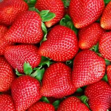 12 Albion Everbearing Strawberry Plants-Fruit Sweet,High Yields(Pack of 12 root)