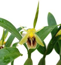 Coelogyne 'fimbriata seltene Orchidee mit dunklen Blüten Rarität für Sammler