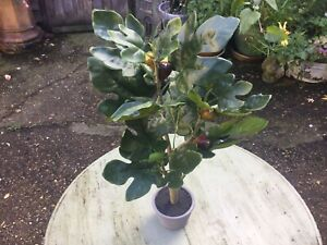 Artificial Fig Tree Large Faux Plant Decor Potted Home Office Decor 60cm High