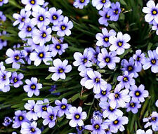 BLUE EYED GRASS Sisyrinchium Bellum - 100 Seeds