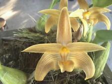 Bulbophyllum siamense orchid plant Bloom Size Thailand Cites Phyto