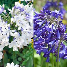 2 X Agapanthus Brilliant Blue And Twister Perennial Plants - 9cm Pots