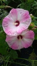 Pink Hardy Hibiscus 2 Gal. Large Plant Huge Flowers Easy To Grow Plants Garden !