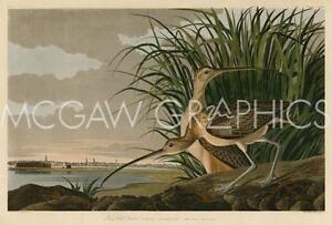 "AUDUBON JAMES JOHN - LONG-BILLED CURLEW - ART PRINT POSTER  11"" x 14"" (40473)"