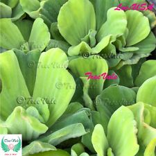 2 Water Lettuce Plants - KOI POND PLANTS