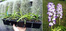 Rhynchostylis coelestis, Orchidée, Orchid, RARE