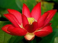 Bowl lotus/water lily flower /Bonsai Lotus / 5 Fresh seeds/Red color