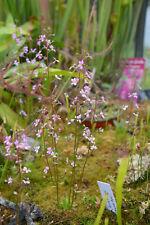 Plante de Stylidium Debile