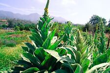Common / Great Mullein (Verbascum thapsus) Seeds (~250): Certified Organic Seeds