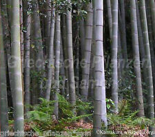 riesenbambus Bambus Pubescens -20°C résistente au froid 6 graines