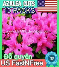 Lavender Rhododendron Azalea plant fresh grafting branche Bonsai Đỗ quyên 10Cuts