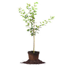 Orient Pear Tree, Live Plant, Size: 3-4 ft.