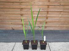 Butia yatay - Yatay Palme   -   Pflanze  -   bis -10°C Frost