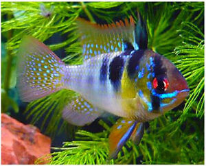 German Blue Ram | Guaranteed Pair | Mikrogeophagus Ramirezi | USA Bred