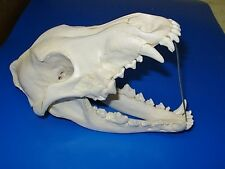 "Genuine -  ""Canis Lupus"" Skull  - ""PUP"" -  Antler  Skeleton Trap Mount Hunt Bone"