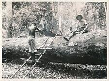 """GABON c. 1930 -Exploitation Bois d'Okoumé Sciage avec le """"Passe-Partout-Div 7124"""