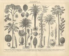 Palme Chamaedorea Areca baueri Cocos weddeliana Phoenix jubae Brockhaus 3038