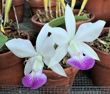 New listing Rare Cattleya Orchids - C walkeriana semi-alba 'Carmela'