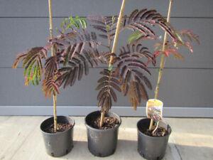 Albizia julibrissin 'Summer Chocolate'®  Seidenbaum Pflanze 50-70cm Winterhart