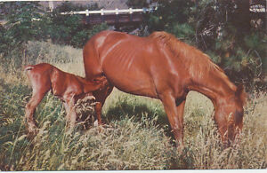 C5474           1960 POSTCARD MARE AND COLT HORSE