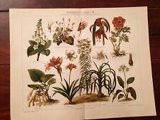 Kakteen Fettpflanzen Chromolithographie 1895 alte historische Grafik
