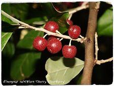 Elaeagnus multiflora 'Cereza silverberry' 10 semillas