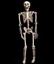 Halloween Skelett Lebensgroß 160cm Beweglich / Lehrmodell / Anatomie / Deko