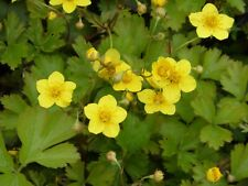 Bodendecker Waldsteinia ternata T.B.10,5   25 Stück