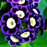 100Stück Tricolor Petunien Samen Petunia Blumen fuer Garten Balkon Ampel Pe A5S0