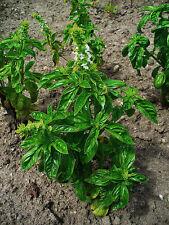 """Basilikum Ocimum Basilicum 300 exotische Samen """"NUR 9 EURO"""""""