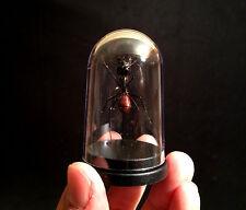 Entomologie Cabinet de curiosités Globe Insecte fourmis geante Camponotus gigas
