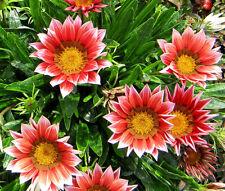 GAZANIA KISS ROSE Gazania Rigens - 100 Bulk Seeds