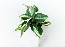 Gorgeous Philodendron Rio Silver Stripe