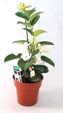 Madagascar Jasmine Fragrant Live Plant Stephanotis / Bridal Wreath  Easy to grow
