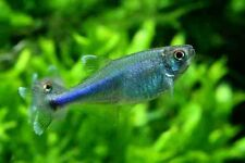 x20 BLUE TETRA - LIVE FRESH WATER FISH - FREE SHIPPING