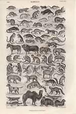 1864 PRINT ~ MAMMALIA ~ WALRUS BOAR MOUSE CHINCHILLA RATS AYE-AYE LEMUR MONKEY