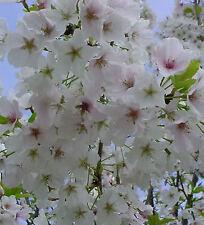 6ft Weeping White Japanese Cherry Prunus Weeping Yoshino