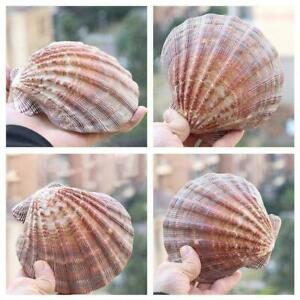 Seashells Natural Color Large Scallop Shell Home Decoration D1R4 T5T2