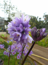 Dichelostemma capitatum giant form, 1 PACK OF SEEDS (20 seeds)