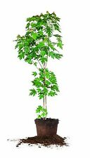Autumn Blaze Maple, Live Plant, Size: 3-4 ft.
