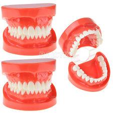 2x Teach Study Adult Standard Typodont Dental Demonstration Model Teeth 7004 Top